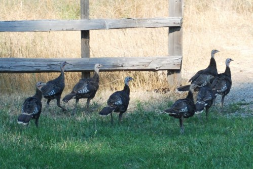 Charli's Wild Turkeys
